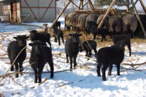 "Gospodarstwo ""Rogata Owca"""