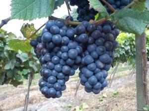 Winnica Świdnicka
