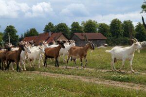 Kozia Farma Złotna