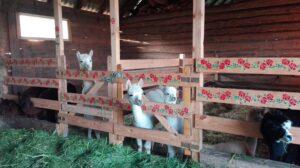 Alpaki Z Różanej Zagrody